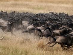 [VIDEO HD] La Grande Migrazione, una delle massime espressioni della Natura Selvaggia