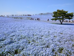 """Giappone. All'Hitachi Seaside Park, lo Spettacolo """"Blu"""" della Fioritura della Nemophila [video]"""