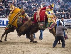 Strane tradizioni nel mondo: il wrestling dei cammelli in Turchia [con video]
