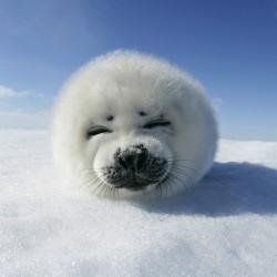 VIAGGIO in CANADA. Cuccioli di foca all'Iles-de-la-Madelein