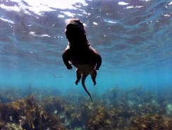 VIDEO in HD segue le avventure di un'IGUANA marina delle GALAPAGOS