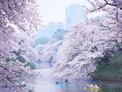 Tokyo. L'hanami: Lo Spettacolo dei Ciliegi in Fiore
